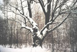 azuolas_ziema