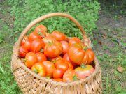 pomidor_pomidor