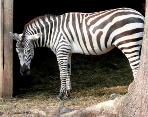 Zebras. Vytauto Visocko nuotr.