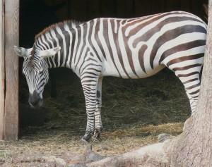 Zebras. Slaptai.lt nuotr.