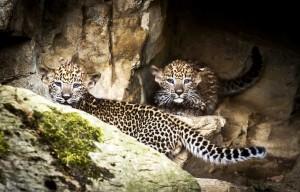 Šrilankinių leopardų jaunikliai. EPA - ELTA nuotr.