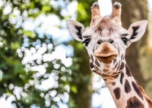 Žirafa. EPA - ELTA nuotr.