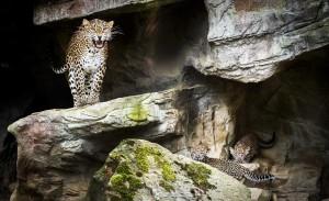 Leopardė su jaunikliais. EPA - ELTA nuotr.