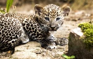 Leopardo jauniklis. EPA - ELTA nuotr.