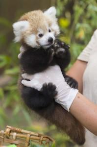 Mažoji panda. EPA - ELTA nuotr.