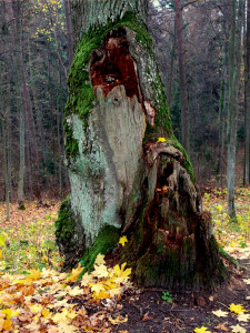 Senas medis. Vytauto Visocko nuotr.