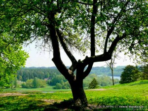 Birštonas. Sena šakota obelis ant Vytauto kalno